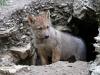 Veneto testa gps per localizzare i lupi
