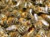 Api da miele selvatiche, prima app per censimento