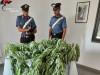 Floridia, coltiva canapa indiana nel suo terreno: bracciante arrestato