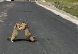 Le due marmotte in mezzo alla strada se le danno di santa ragione Perché? A saperlo… - CorriereTV