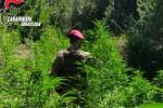 Melilli, sequestrata vasta piantagione di canapa indiana: 2 arresti