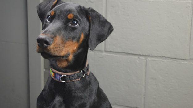 Caltanissetta, una coppia litiga e lascia il cane in balcone per giorni: è in fin di vita