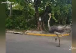 Struzzo in fuga per le vie di Manila: ripreso mentre corre per le strade  Il grosso animale è stato catturato e riconsegnato al proprietario  - LaPresse/AP