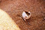 Siracusa, violato il nido di tartarughe sulla spiaggia di Ognina
