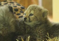 Vienna, nati quattro cuccioli di ghepardo Alla prima uscita in pubblico dopo essere venuti alla luce a giugno - LaPresse/AP