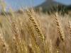 Genomica e conoscenze dei contadini migliorano lagricoltura