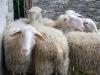 In un borgo della Langhe allevatori a Scuola di pastorizia