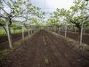 Moria kiwi, colpa del caldo e della gestione del suolo