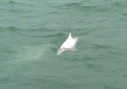 Delfino rosa nella baia di Hong Kong: il ritorno del raro esemplare grazie alla riduzione del traffico marittimo La presenza del mammifero nella baia è dovuta alla riduzione del traffico marittimo - Ansa