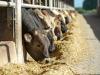 Lingua blu: ok movimentazione bovini fuori dalla Sardegna