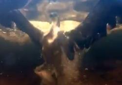 Il falco piomba in acqua per pescare una trota: il video subacqueo è spettacolare Succede in un lago delle Highland scozzesi, il rapace afferra il pesce e poi lo porta in superficie - Corriere Tv