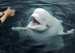 Islanda: due balene beluga nuotano per la prima volta nel nuovo santuario marino Le immagini nella baia incontaminata di Klettsvik - LaPresse/AP