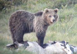 «L'orso M49 Papillon sta bene». Ma gli animalisti non sono d'accordo La vicenda dell'orso catturato. Le parole di Mario Fugatti, presidente della provincia di Treno e la replica di Ornella Dorigatti, ambientalista Oipa che fa lo sciopero della fame per liberarlo - CorriereTV