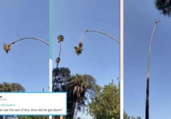 La potatura delle palme non è un lavoro per tutti Questo operaio sale in cima alla pianta con una motosega. E poi succede questo - CorriereTV