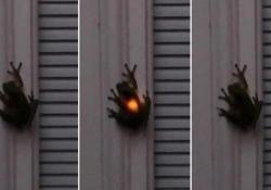 La rana ingoia una lucciola, ecco cosa succede alla sua pancia: il video Le immagini diffuse sui social sono state visualizzate migliaia di volte  - Corriere Tv
