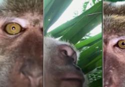 Malesia, la scimmia ruba un cellulare e si fa un video selfie L'animale si sarebbe intrufolato nella casa del proprietario del telefono - LaPresse/AP