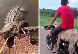 Messico, catturano un coccodrillo e lo portano a fare un giro in moto Il video arriva dal Messico. Le autorità locali hanno aperto un'indagine - CorriereTV