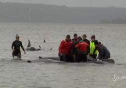 Tasmania, al via l'operazione di soccorso delle 270 balene spiaggiate Circa 270 esemplari sono rimasti bloccati in una secca al largo dell'isola australiana - LaPresse/AP
