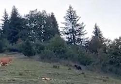 Trentino: l'orso «punta» la mucca, ma ecco chi scappa dalla paura L'avvistamento in Val di Non - CorriereTV