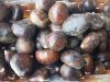 Castagna Cuneo, -20% raccolto ma qualità eccellente