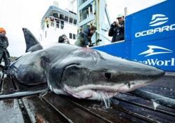 Catturato (e poi rilasciato) uno squalo gigante di oltre 5 metri Il grande squalo bianco pescato al largo della Nuova Scozia pesa 1600 kg - CorriereTV