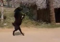 India: la capra entra nel villaggio camminando su due zampe Il video di una capra che cammina sulle zampe posteriori in un villaggio indiano è parecchio cliccato in rete - CorriereTV