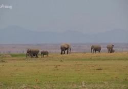 Kenya, boom di cuccioli di elefante all'Amboseli National Park Da inizio anno sono nati 205 cuccioli - LaPresse/AP