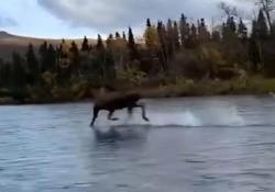 L'alce corre sull'acqua in Alaska (letteralmente) Il curioso filmato catturato su un fiume - CorriereTV