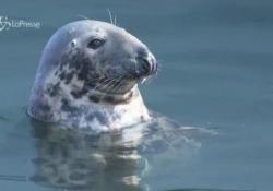 Le foche invadono le coste del New England: c'è il pericolo che richiamino gli squali bianchi Spettacolo della natura che rappresenta anche un problema - LaPresse/AP