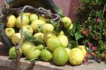 """Il limone dell'Etna diventa Igp: """"Altro tassello che valorizza la Sicilia"""""""