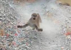 Una brutta situazione: il giovane inseguito dal puma (per più di 5 minuti) Una scena ad alta tensione quella registrata dal giovane in un parco nazionale dello Utah, Usa - CorriereTV