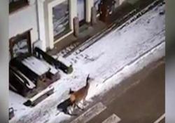 Canazei: i cervi passeggiano di notte in mezzo al paese (deserto) E poi arriva anche il cerbiatto - CorriereTV