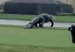 Florida, un alligatore enorme passeggia sul campo da golf L'animale è stato filmato sotto la pioggia a Naples - Dalla Rete