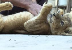 Gaza, due cuccioli di leone allevati sul tetto di casa Un giovane palestinese li cresce come «animali domestici» nella propria casa - Ansa