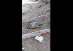 Lecce, tartaruga trovata morta in spiaggia Il ritrovamento sulla spiaggia di Torre Chianca - Corriere Tv