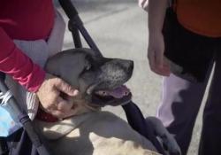 Storia di Vera, cane disabile che non sa di esserlo  Salvata da una morte quasi certa in Sicilia, ha trovato una nuova famiglia in Toscana. Ma le sue cure mediche costano 300 euro al mese. L'aiuto della Lav  - Corriere Tv