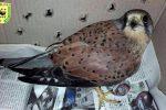 Falco ferito per strada a Niscemi, salvato in extremis dalle guardie ambientali