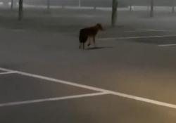 C'è un lupo che si aggira nel parcheggio della Barilla L'animale cammina nella nebbia - Corriere Tv