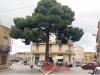 Paceco, mobilitazione per salvare un pino centenario