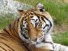 Infezione da virus SarsCoV2 per un tigre in uno zoo svedese (fonte: Petey21)