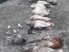 Avvelena mais per nutrie,centinaia animali morti;denunciato