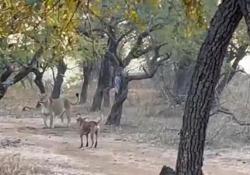 India: il cane affronta un grosso leone davanti ai turisti sbalorditi Le immagini dell'insolita lotta tra i due animali sono state registrate nel parco nazionale di Gir - CorriereTV