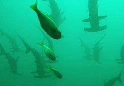 La subacquea «intrappolata» in mezzo a centinaia di  squali martello La donna ha dovuto rifugiarsi dietro alcune rocce ad una profondità di 24 metri, cercando di non muoversi per non attirare l'attenzione - CorriereTV