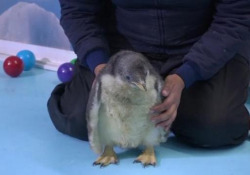 Messico: è nato Alex, raro esemplare di pinguino di una specie a rischio estinzione Il 'pulcino' si trova all'acquario di Città del Messico - LaPresse/AP