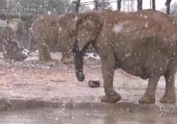 Nevica in Arizona: gli elefanti dello zoo impazziscono di felicità I cuccioli si divertono a giocare nelle pozzanghere - LaPresse/AP