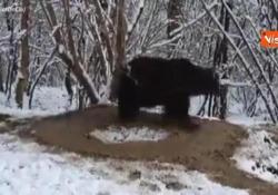 Un'orsa esce dallo zoo dopo venti anni, ma continua a girare su sé stessa come fosse in gabbia Il video diventato virale sui social - Agenzia Vista/Alexander Jakhnagiev