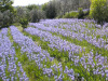 Iris toscano, verso Igp per filiera produttiva