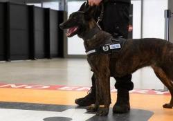Cani anti-covid al via in Italia: così rilevano il 95% dei positivi (sintomatici e asintomatici)  Parte in Italia la sperimentazione con i cani addestrati per individuare un positivo al coronavirus grazie alle particelle di sudore che il suo corpo emana. - CorriereTV
