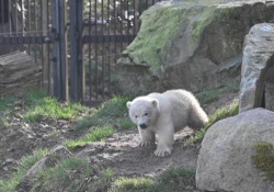 I primi passi dell'orsetto polare Kara, nato allo zoo francese di Mulhouse Dopo una piccola passeggiata va a fare una nuotata e poi gioca con la mamma - Ansa
