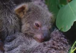 Sydney, al Taronga Zoo è nato un cucciolo di koala Le immagini del cucciolo ancora nel marsupio della madre - LaPresse/AP